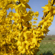 Kit Haie Forsythia (Forsythia X Intermedia 'Lynwood Gold')