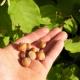 Noisetier fruit (Marcotte) - Corylus maxima