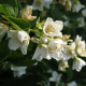 Kit Haie Parfumée - Seringat (Philadelphus Coronarius)
