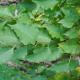 Ensemble de Plants Truffiers Uncinatum