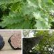 Truffe de Bourgogne - Tuber uncinatum