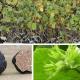 Noisetier commun uncinatum (Corylus avellana)