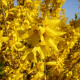 Kit Haie Libre Semi-Persistante - Forsythia (Forsythia x Intermedia 'Lynwood Gold')