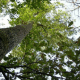 Chêne pubescent melanosporum IN VITRO conteneur 2L (Quercus pubescens)