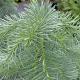 Sapin du Colorado (Abies Concolor)