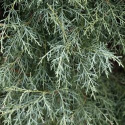 Cyprès de l'Arizona (Cupressus Arizonica)