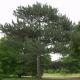 Pin laricio de Corse (Pinus Nigra Corsicana)