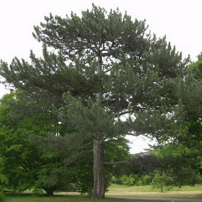 Pin Arbre: Pin De Salzmann (Pinus Nigra Salzmanii)