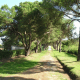 Pin pignon (Pinus Pinea )