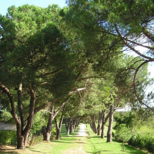pin pignon - pin parasol (pinus pinea) - sa pépinières naudet