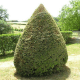 If commun (Taxus baccata)