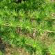 Mélèze du Japon (Larix kaempferi)