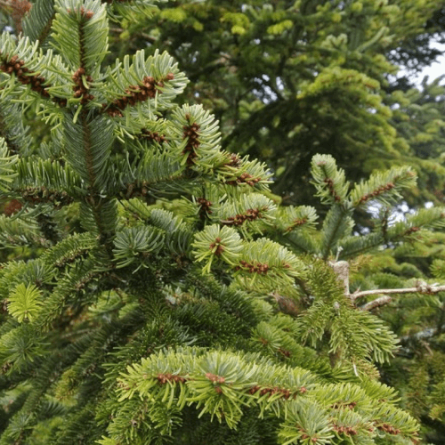 Sapin noble (Abies Nobilis)