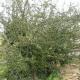 Buisson ardent - Fruits jaunes abondants - Port érigé (Pyracantha  'Soleil D'Or')