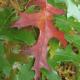 Chêne écarlate (Quercus Coccinea)