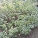 Framboisier (Rubus Idaeus)