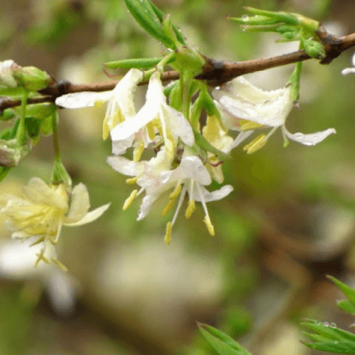 Chèvrefeuille odorant persistant (Lonicera fragrantissima)