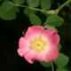 Rosier rouillé (Rosa Rubiginosa)