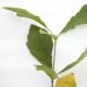 Chêne bicolore (Quercus Bicolor)