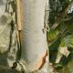 Bouleau à papier (Betula Papyrifera)