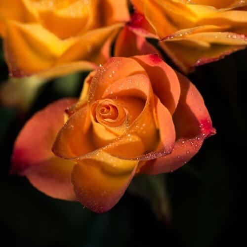 Rosier Sutter's Gold - Rose Bicolore Rouge Jaune Orangé - Grandes Fleurs