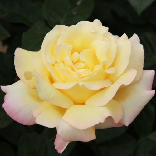 Rosier Mme A. Meilland - Rose Bicolore Grandes Fleurs
