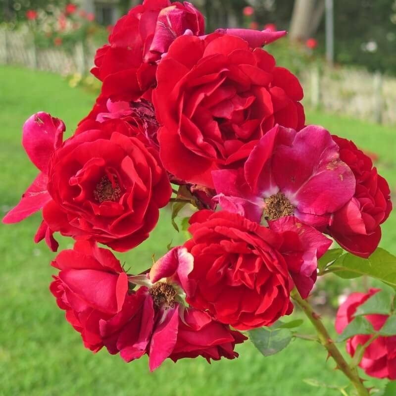 rosier lily marlene rosier buisson fleurs group s. Black Bedroom Furniture Sets. Home Design Ideas