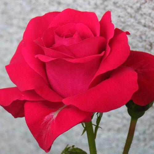 Rosier Lili Marlene - Rose Rouge Luisant - Fleurs Groupés