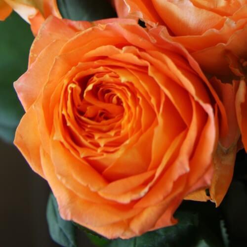 Rosier Louis De Funés ® - Rose Orange - Grandes Fleurs