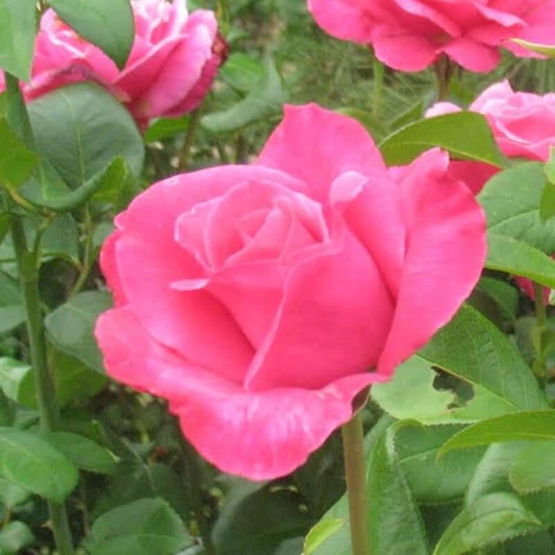 rosa parfum royal rosier grimpant grandes fleurs. Black Bedroom Furniture Sets. Home Design Ideas