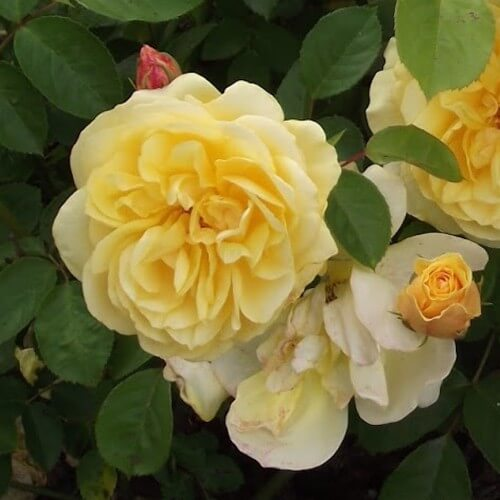 Rosier Golden Delight Rosier Buisson Fleurs Groupes Pepinieres