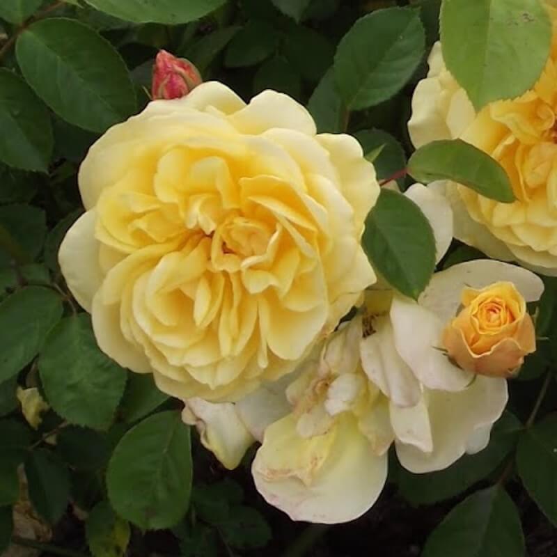 rosier golden delight rosier buisson fleurs group s. Black Bedroom Furniture Sets. Home Design Ideas