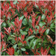 Kit Haie Photinia (Photinia Fraseri 'Red Robin'