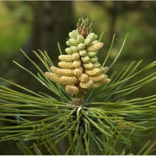 Pin Noir d'Autriche - Pinus Nigra Austriaca