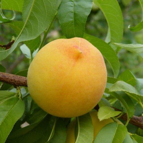 Pêcher de Vigne Jaune - Prunus Persica Vigne Jaune