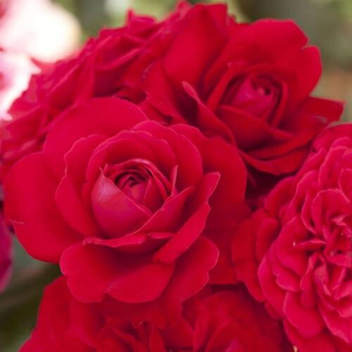 Rosier Mona Lisa - Rouge Vermillon - Grandes Fleurs