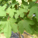 Collection 4 Arbres - Erable Sycomore (Acer Pseudoplatanus)