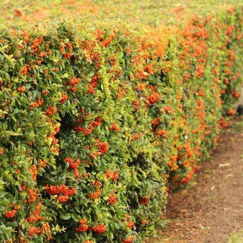 Cotoneaster Laiteux (Cotoneaster Lacteus)