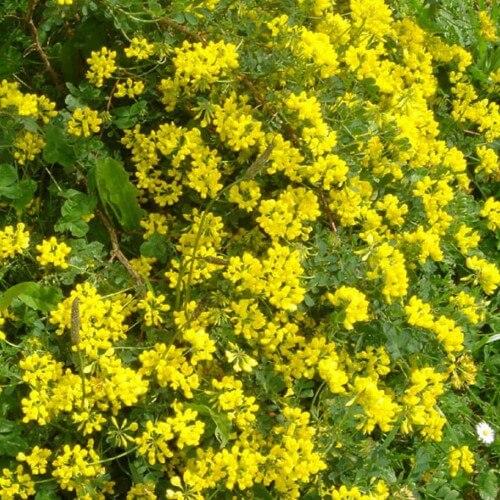 Coronille glauque - Persistant - (Coronilla Glauca)