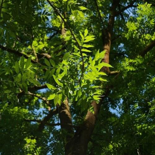 Frêne commun (Fraxinus excelsior)