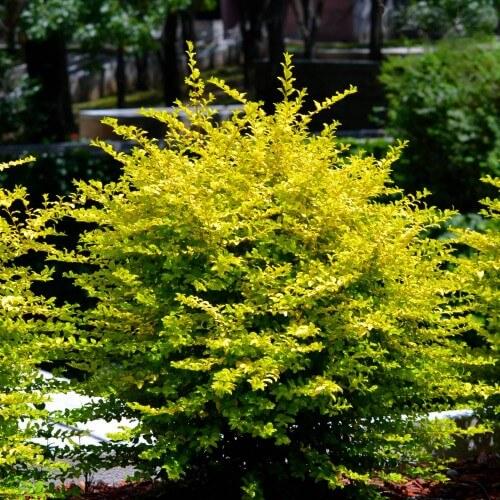 Troène de Chine (Ligustrum Sinense)