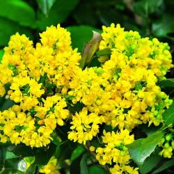 Mahonia à feuilles de houx (Mahonia Aquifolium)