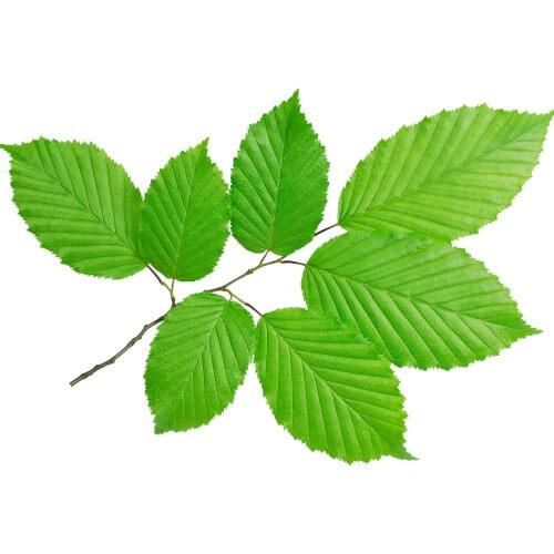 Charme houblon (Ostrya Carpinifolia)