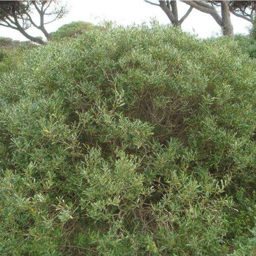 Filaire à feuilles étroites (Phillyrea Angustifolia)