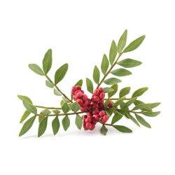 Pistachier lentisque (Pistacia Lentiscus)