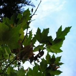 Platane à feuilles d'érable (Platanus acerifolia)