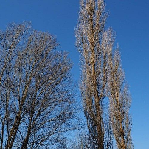 Peuplier noir d'Italie (Populus Nigra Italica)