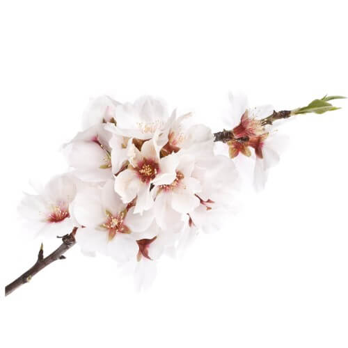 Amandier (Prunus Amygdalus)