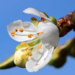 Prunier domestique (Prunus Domestica)
