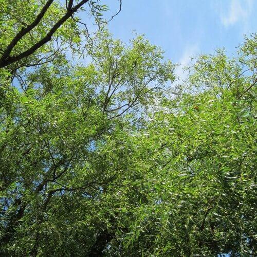 Saule blanc (Salix Alba)